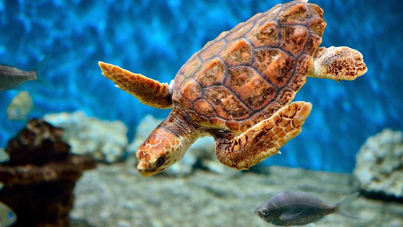 Символ черепаха - что означает, куда ставить талисман в доме
