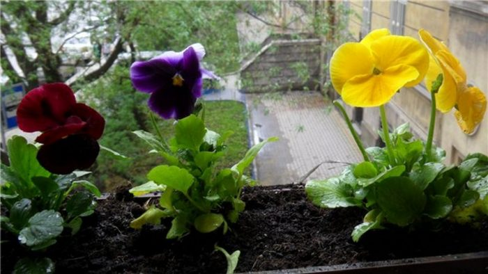 Цветок анютины глазки: ключевые характеристики и описание, правила посадки и ухода, фото цветов