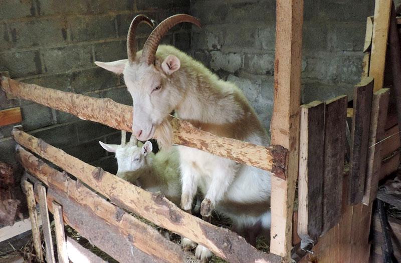 Карликовая коза: описание породы, правила кормления, особенности содержания