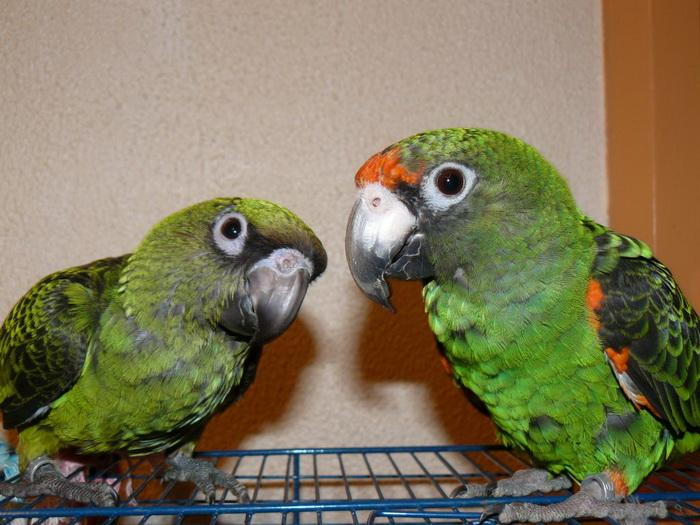 Какого попугая лучше завести в квартире: фото, описание, виды