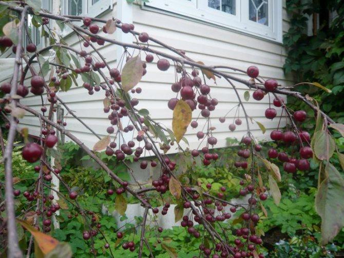 Декоративные плодовые для дизайна сада
