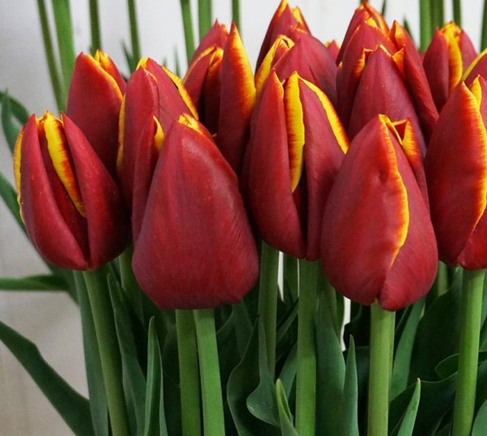 Вечные вопросы: можно ли сажать рядом разные сорта тюльпанов?