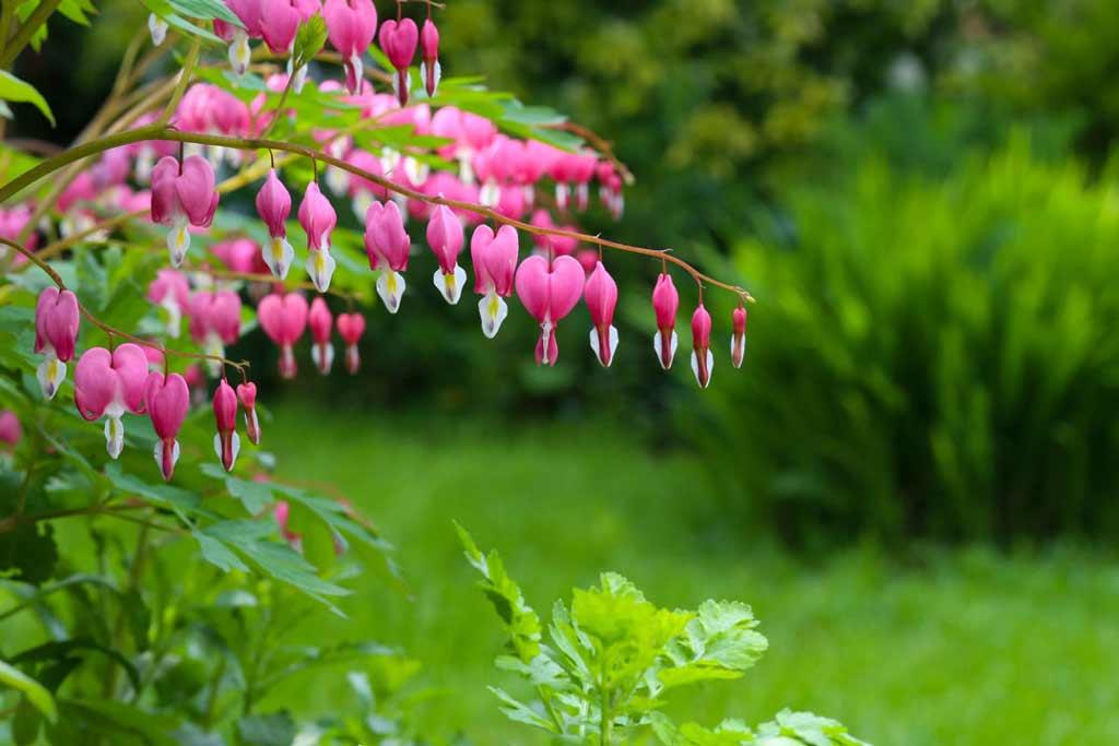 Дицентра («разбитое сердце»): правила посадки, выращивания и ухода (30 фото)