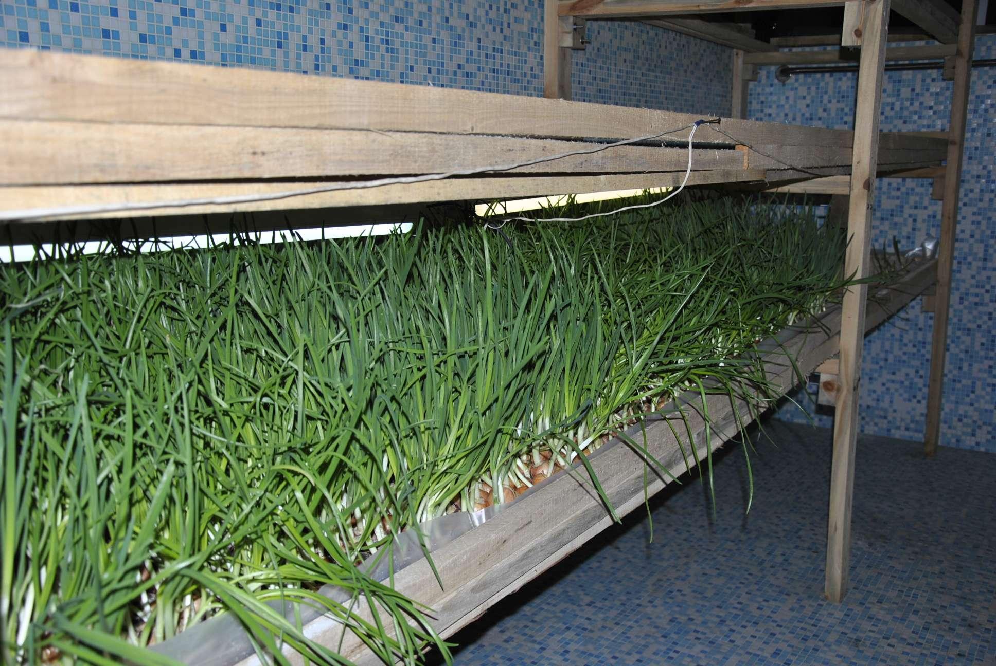 Как посадить лук дома: методы выгонки лука на перо