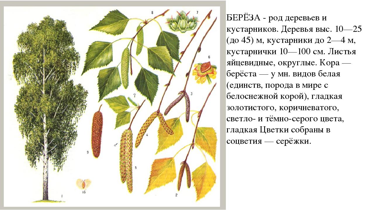 Береза — русское дерево
