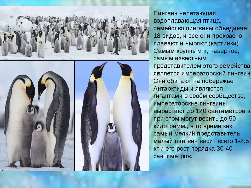 Пингвины: описание, повадки, где живут, как выглядят, видео, фото