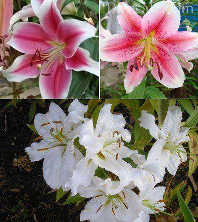 Любите лилии? хитрости посадки, ухода и выбора сорта