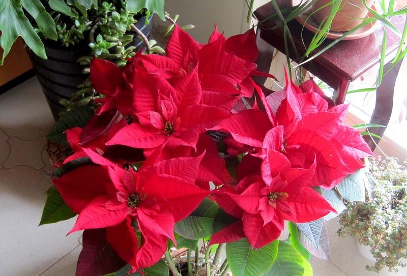 Цветок пуансетия — уход в домашних условиях