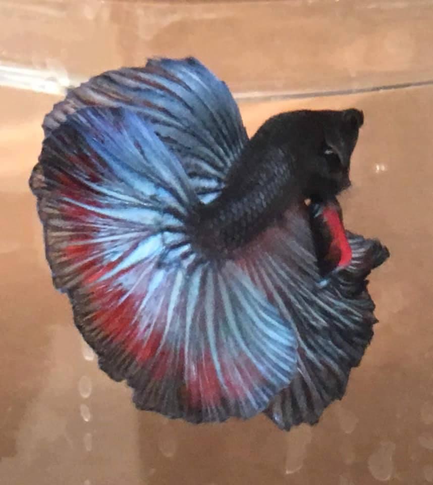 Петушок рыба. образ жизни и среда обитания рыбы петушок | животный мир