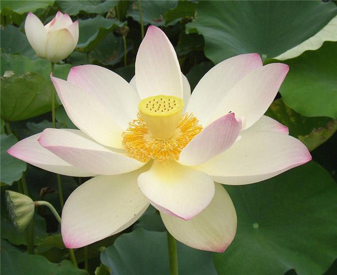 Как выглядит растение лотос, строение цветка и разведение дома. разновидности лотосов. как посадить и ухаживать за лотосом в своем водоеме?