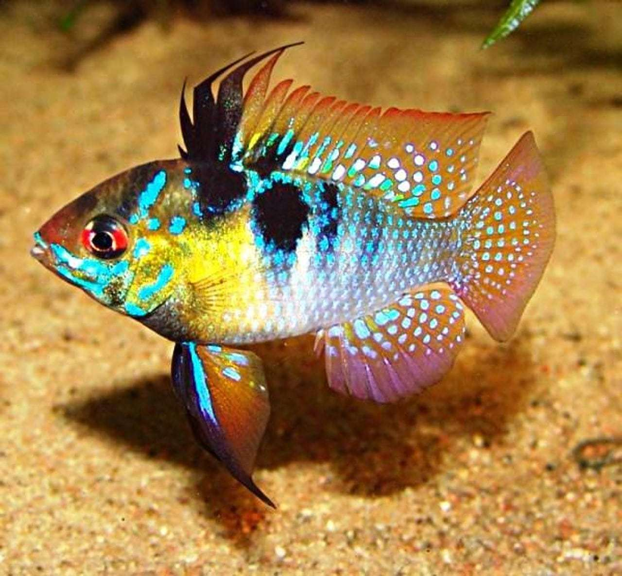 20 самых неприхотливых аквариумных рыбок