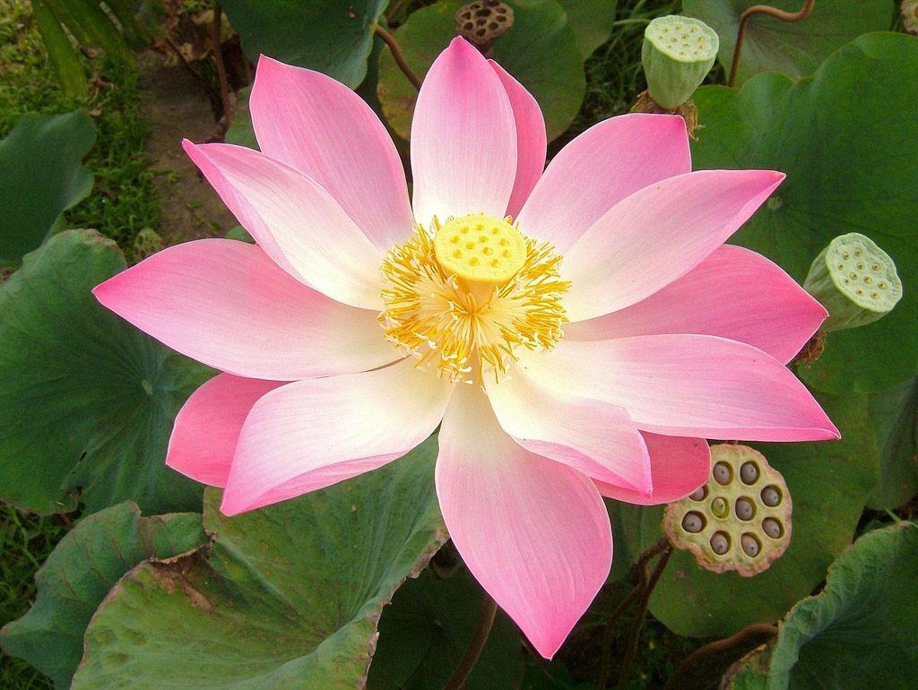 Цветок лотоса: значение белого и красного священного растения, описание, виды, как вырастить дома