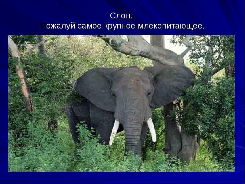 Слоны – фото, описание, виды, ареал, рацион, враги