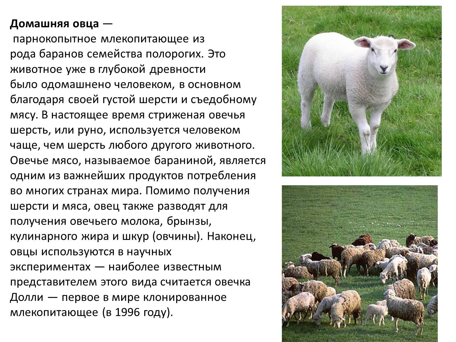 Что дает овца?