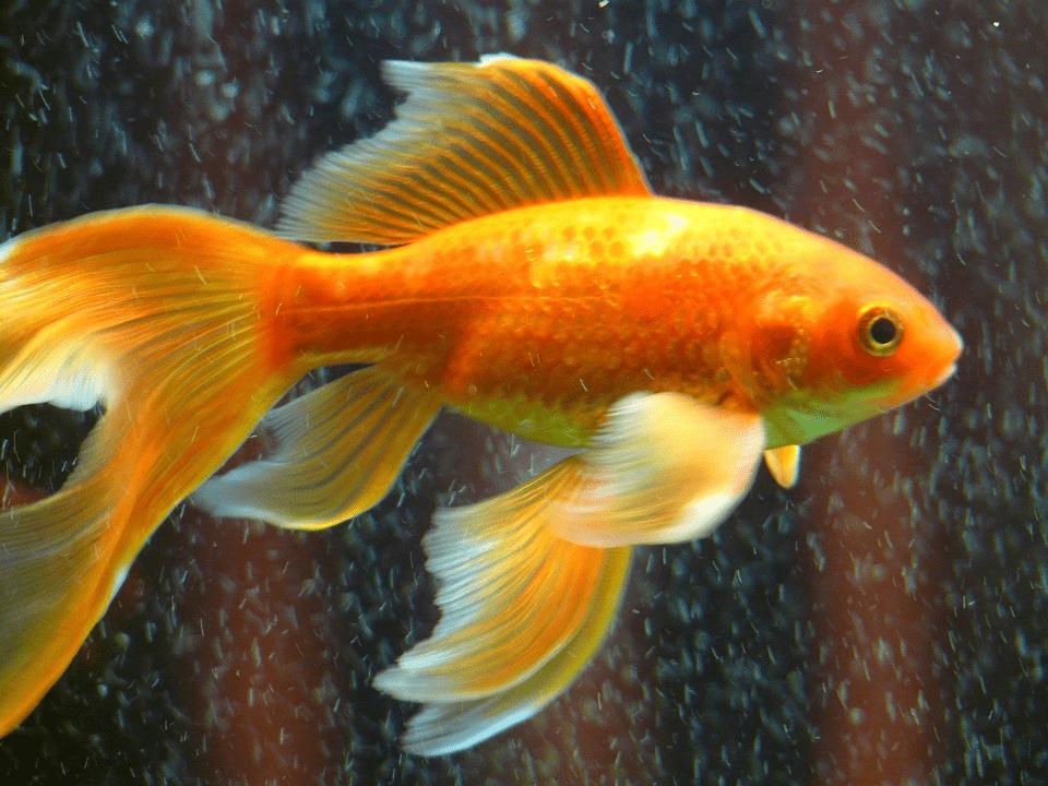 Аквариумные рыбки для начинающих: разновидности с названиями и описанием, особенности разведения рыбы в домашних условиях