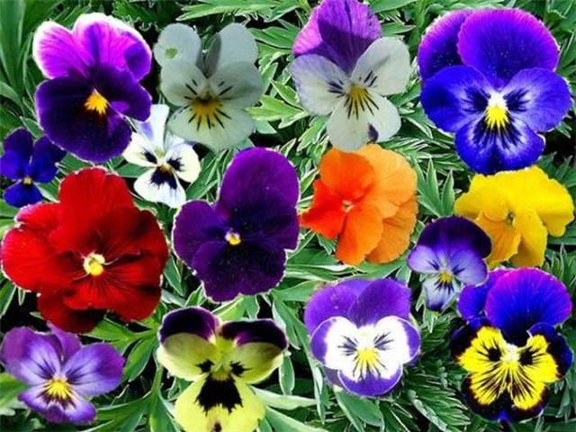 Анютины глазки: посадка и уход в открытом грунте, выращивание и размножение сорта, фото, сочетание в ландшафтном дизайне