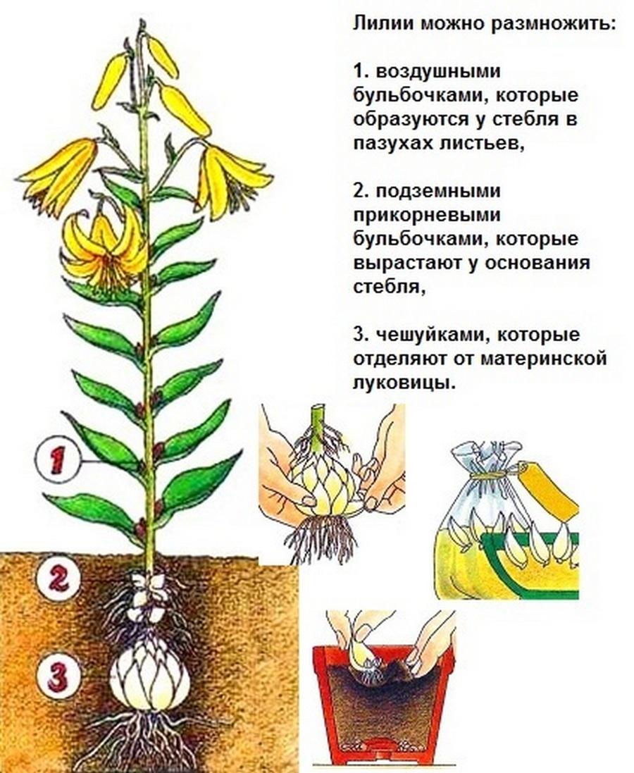 Комнатное растение лилия: свойства по фен-шуй