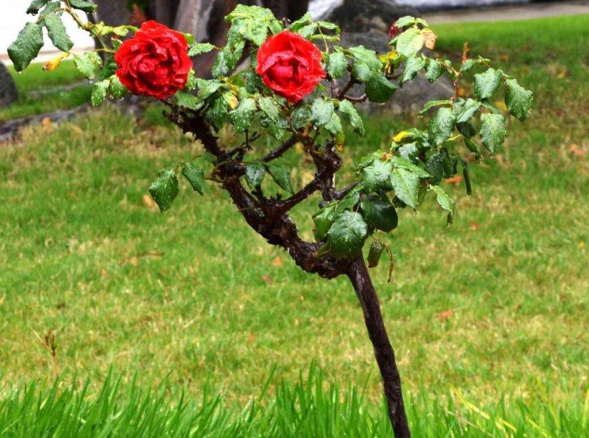 Какие бывают розы – обзор групп, типов и сортов | в цветнике (огород.ru)