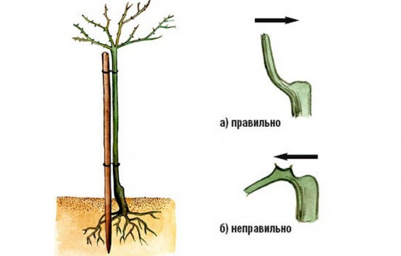 Описание древовидной розы: как называется цветок, который растет как дерево