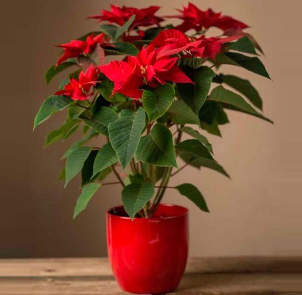Рождественская звезда - цветок: уход, размножение черенками в домашних условиях, как цветет