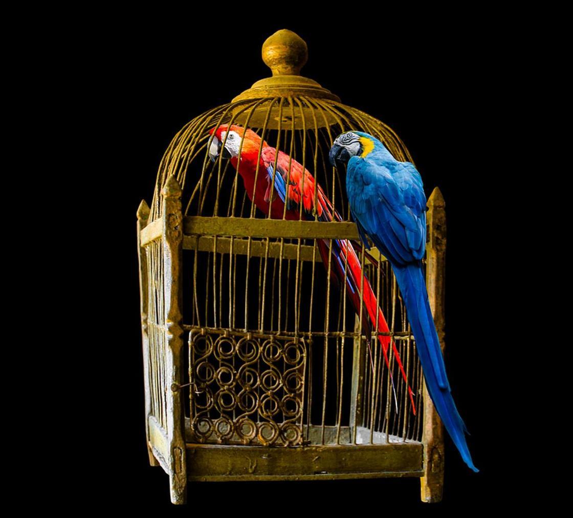 Волнистый попугай ? фото, описание, ареал, питание, враги ✔