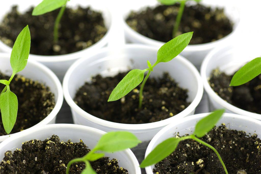 Когда сажать перец на рассаду в 2020 году: особенности посадки и выращивания