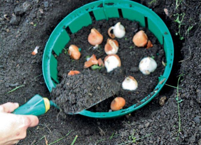Посадка тюльпанов в корзины для луковичных: как проводить своими руками с видео