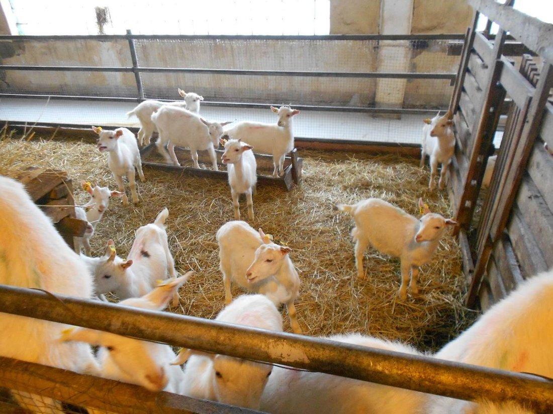 Зааненская молочная коза: характеристики и описание племенной породы - содержание и фото
