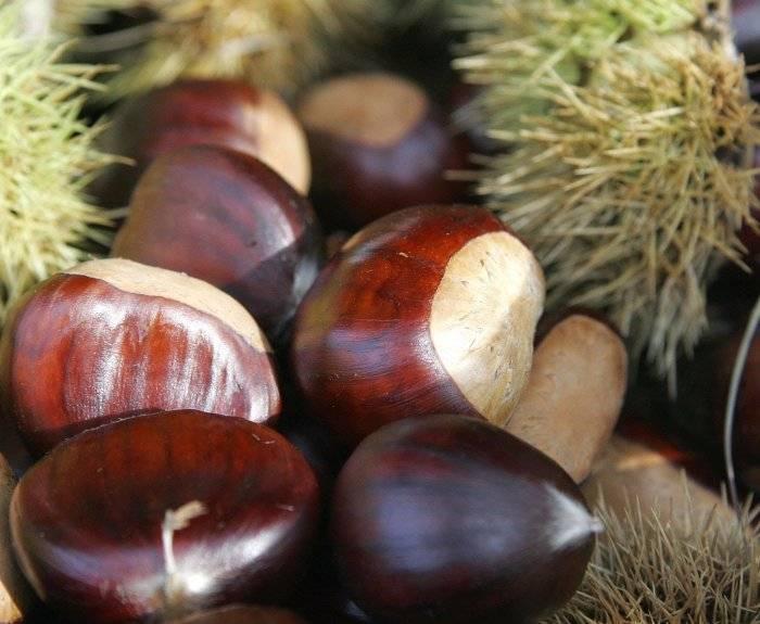 Магические свойства каштана - дерево и плоды в магии