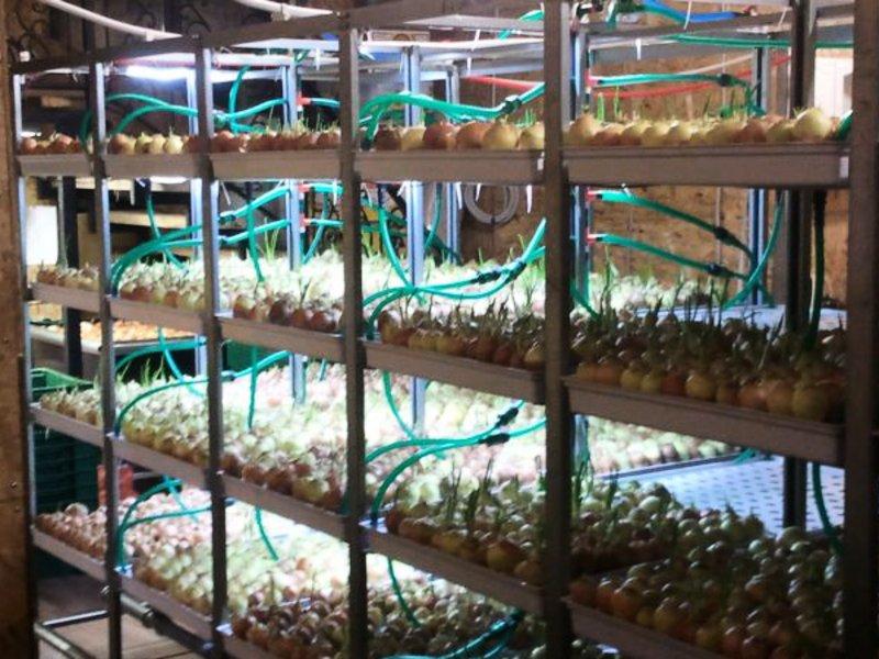 Бизнес идея выращивание лука с расчетами