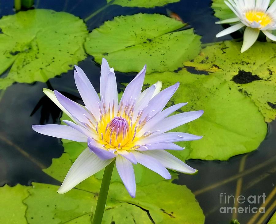 Цветущий лотос: состояние блаженства, символ любви и человеческой мудрости