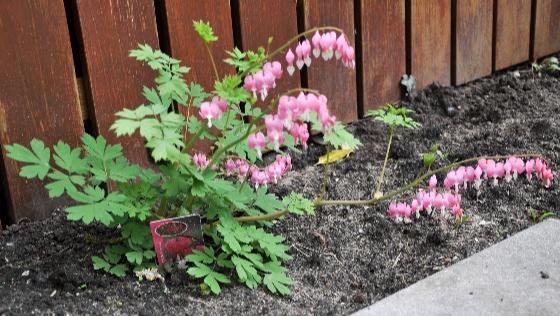 Дицентра (цветок разбитое сердце) (60 фото): легенда, описание, посадка и уход в открытом грунте, сорта, размножение, в декоре сада