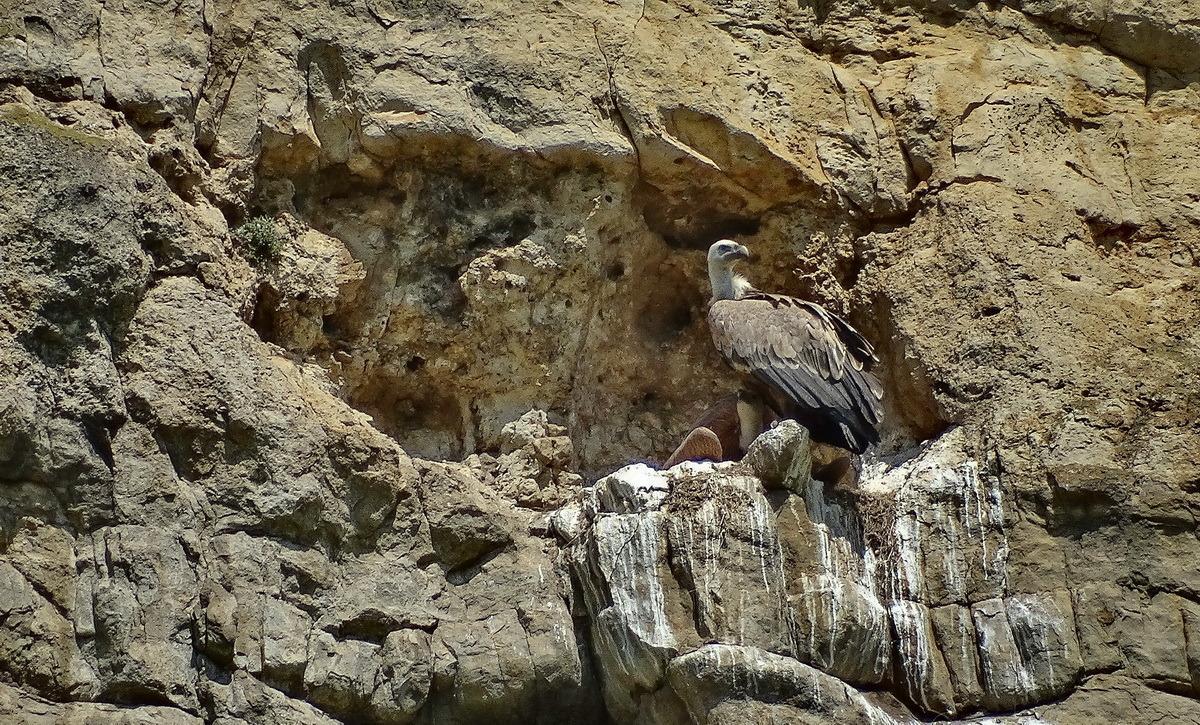 Гриф птица. образ жизни и среда обитания грифа | животный мир