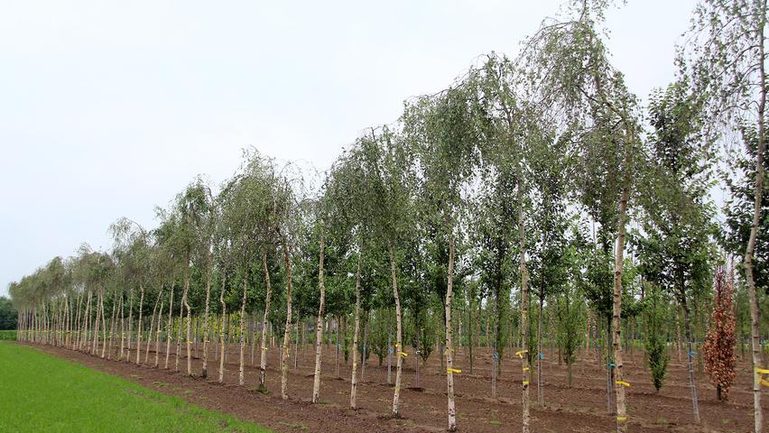 Дерево береза повислая (бородавчатая или пушистая): фото и описание, характеристики плодов, листьев, бересты и ствола