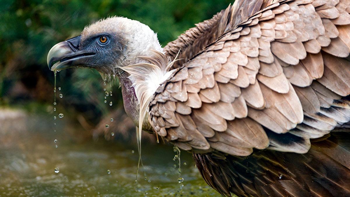 Гриф - птица хищник, выполняющая функцию санитара