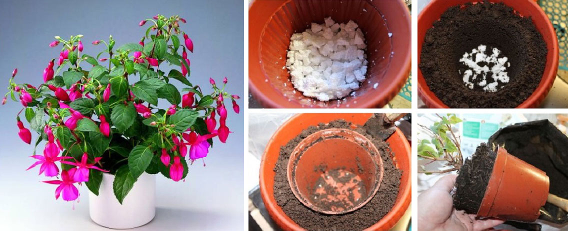 Фуксия: уход в домашних условиях зимой и летом, как заставить цвести, размножить и лечить
