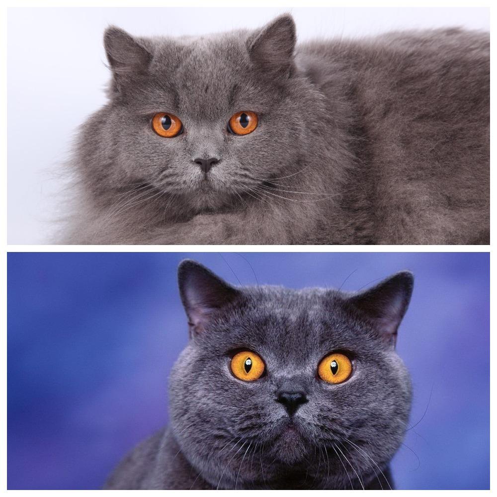 Порода кошек британская мраморная короткошерстная