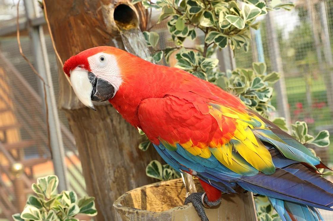 Волнистый попугай: описание, содержание, обучение, покупка