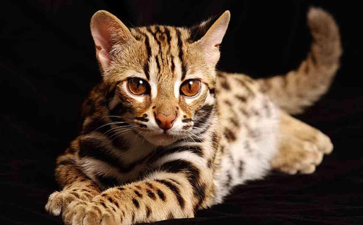 20 самых красивых пород кошек в мире: фото