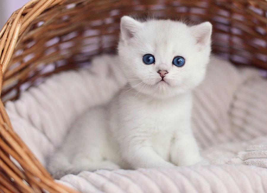 Подбираем имена для британских котов