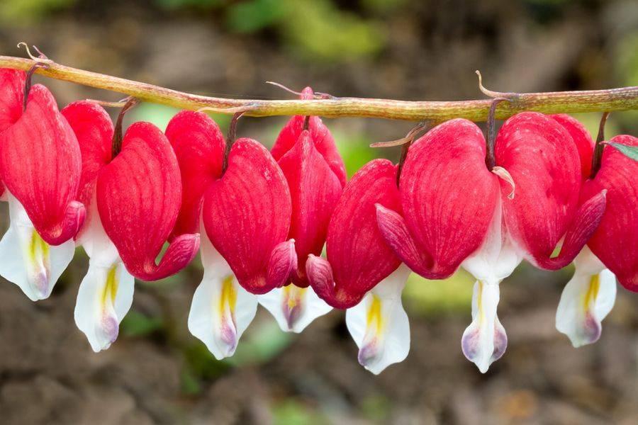 Цветок разбитое сердце (дицентра) посадка и уход, разможение, сорта