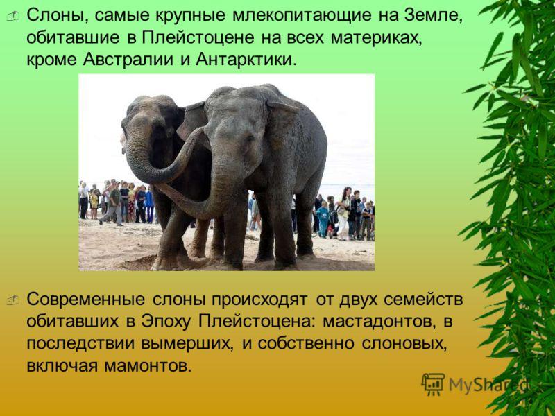 Слон - харкатеристика, где живет слон, виды, сколько живет, что едят