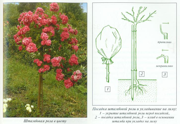 Штамбовая форма роз: особенности выращивания, фото ухода и формирования штамба, самые красивые сорта