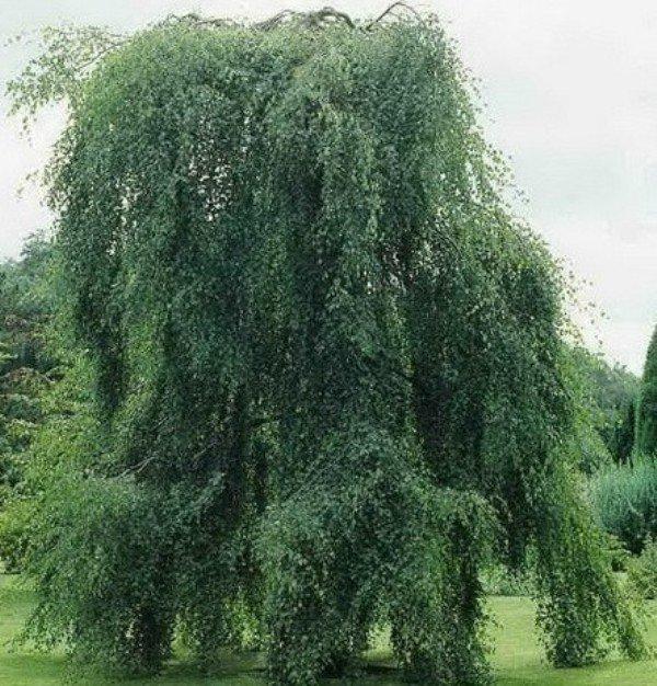 Береза. свойства древесины. полезные свойства березы