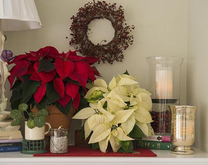 Цветок рождественская звезда: уход и размножение в домашних условиях