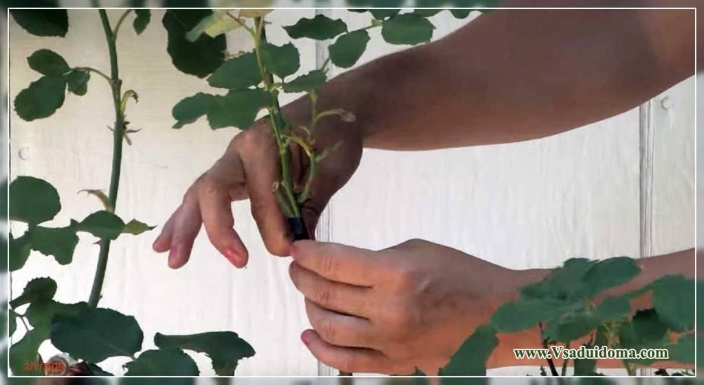 Штамбовая роза посадка и уход, размножение, болезни и удобрения, фото сортов