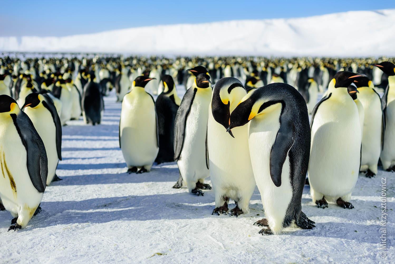 Королевский пингвин ? фото, описание, ареал, питание, враги ✔