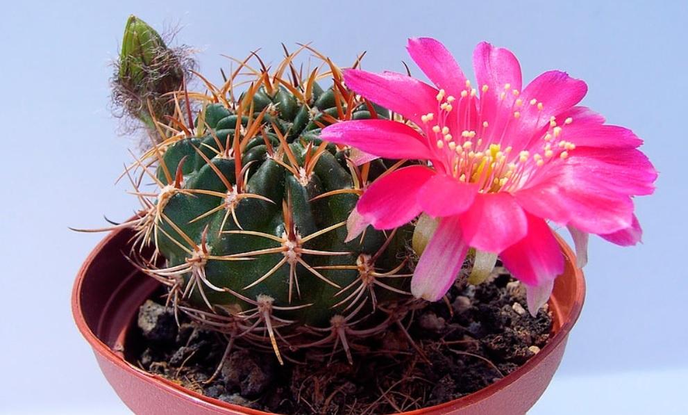 Кактус в комнатном цветоводстве – виды, выращивание, фотографии