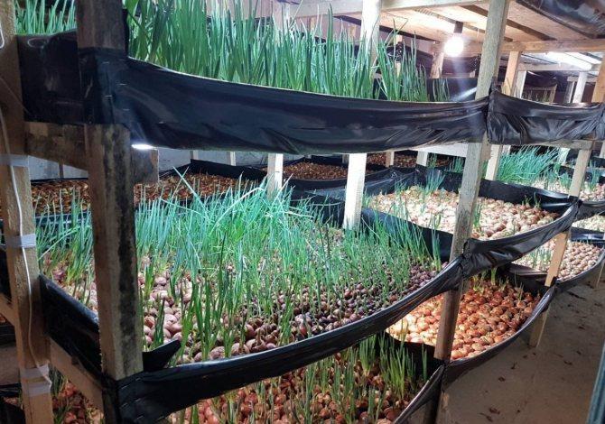 Бизнес на выращивании лука зеленого и репчатого – план с расчетами