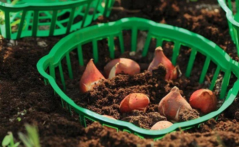Как сажать тюльпаны в корзины? инструкция